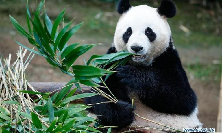Мөхөх гэж байсан панда мөнхрөх замдаа шуударчээ